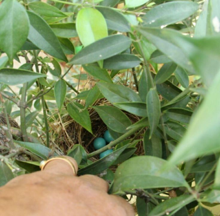 nest on Malabar Jasmine climber...