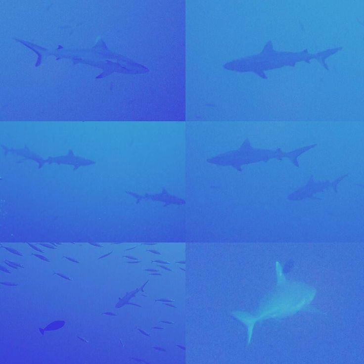 Día 3 - Baño de tiburones en Marehaa Kandu  #shark #diving #maldives #greyshark #whitetipshark #scubadiving #dive #kandu #canal #divetosurvive