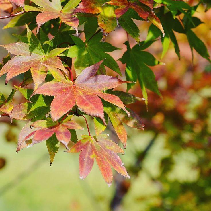 緑から赤へ この途中経過こそ絶妙 #紅葉#山#もみじ #秋#光#北海道#登別#風景#景色#季節#ファインダー越しの私の世界 #写真好きな人と繋がりたい #葉っぱ