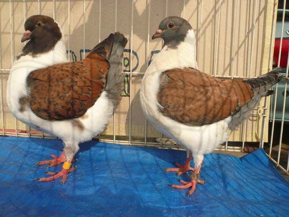 Modena pigeon for sale   modena #pigeons 2 pair for #sale  See More At : http://www.openads.biz/modena-pigeon-for-sale/