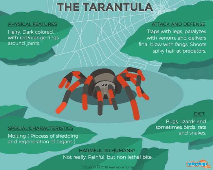 #Tarantula - #TarantulaFacts and Information. #GIF More educational #GifographicforKids. http://mocomi.com/learn/new-world/gifographic/