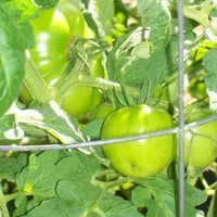 Tomatoes continue to hold a favorite spot in the annual vegetable garden. Unfortunately, they attract  a variety of insects as well as vegetable lovers. An easy and organic way to repel insects from tomato plants is the companion planting method. Companion planting involves selecting a specific mix of flowers and herbs to keep insects away from...