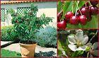 """SEEDS - Dwarf Sweet Garden Bing Cherry """"Prunus avium"""" – Zones 5-9 Seeds #sweetseeds #sweetcherry #sweetgarden"""