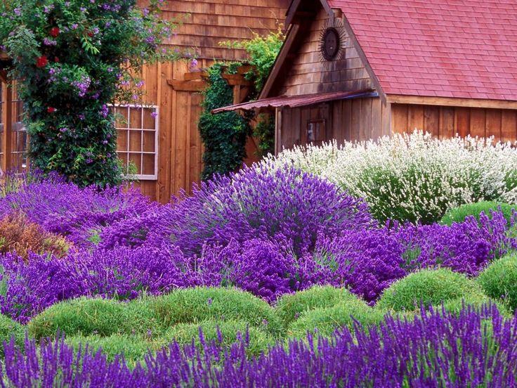 Красивые лавандовые поля в Провансе