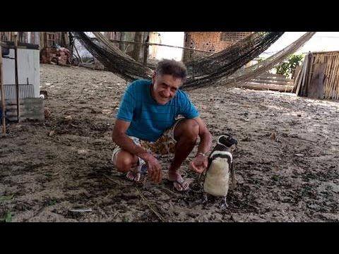 super penguin Patagonian Penguin Finds Second Home in Brazil