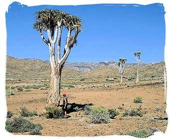 Tree Aloe x 1