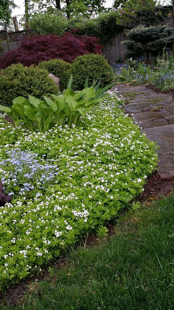 Shade garden. Host and ground cover sweet woodruff.