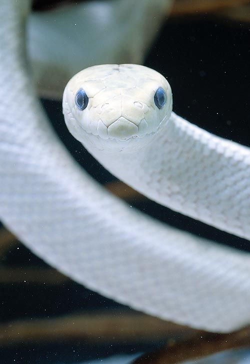 "Sea snake. A white one would look amazing in a tank. But it would kill you. Fast and painfully. No doubt. <---- and here i was like ""URMAGOD the snake is smiling!!!"
