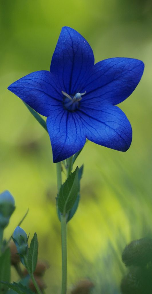 Beautiful blue flower.. Balloon Flower...def Photoshopped tho..I have these all thru my flower gardens & have Never seen this deep of a color. Wish there was tho-beautiful!