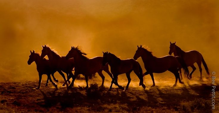 artfinder mustang horses at sunset by bev pettit a herd