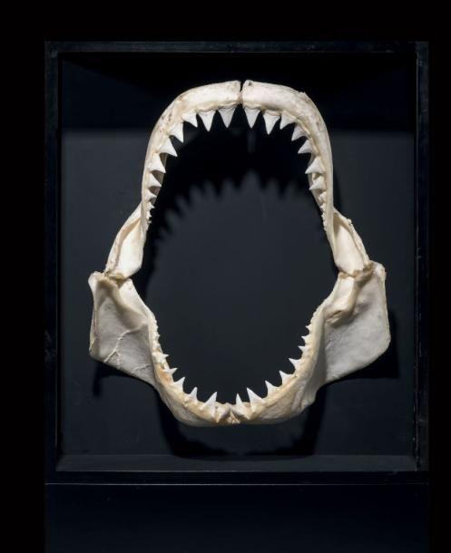 Impressionnante mâchoire de requin blanc Carcharodon charcarias Lavanono, Madagascar Présenté dans un coffret noir éclairé Dim. de la mâchoire H. 55 cm - L. 47 cm Annexe II/B. Mâchoire introduite dans… - Binoche et Giquello - 07/03/2017