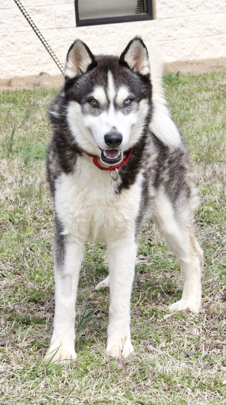 Zeus is an adoptable 2yr. old male Siberian Husky searching for a forever family near Denver, CO. Available at Big Fluffy Dog Rescue.