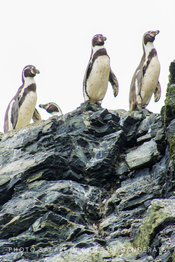HUMBOLDT PHOTO SAFARI Photo Safari en Caleta Chañaral y Reserva Nacional Pingüino de Humboldt. Aprender Fotografía Viajando por Chile. Vida silvestre y cultural en tierra y mar. Aprender Fotografía Viajando por Chile. @Cristóbal Ganderats #ganderats #atacama #photosafari #chile #travel #trip #caletachañara #selfie #nature #awesome #beautiful #summer #holydays #tour #traveling #penguin