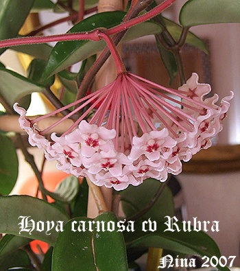 Hoya carnosa cv Rubra. Foto: Nina Lindh