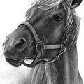 Mama Rosa - Arabian Horse Drawing by Susan Donley