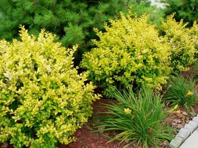 Golden Vicary Privet If You Re Tired Of The Same Old