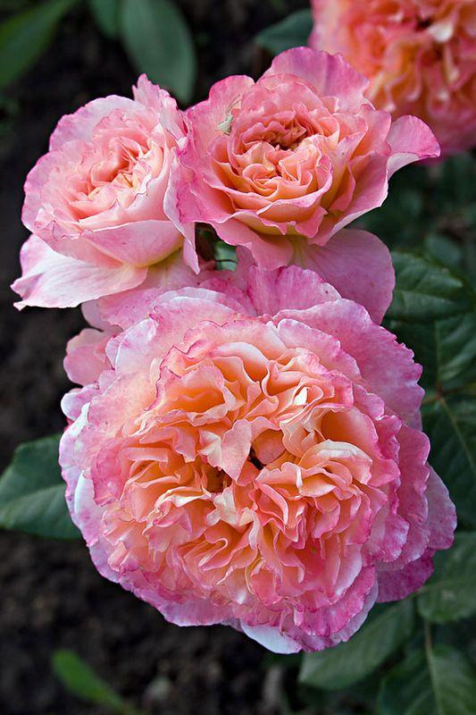 'Augusta Luise' | Hybrid Tea Rose. Tantau, 1999 |  © Oliver