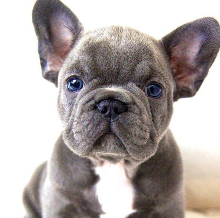 Blue French Bulldog Puppy.