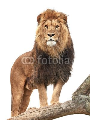 Lion microstock image @fotolia from Dennis Jacobsen #lion #wildlife