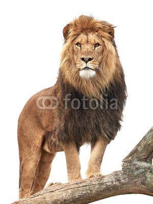 Lion microstock image @fotolia from Dennis Jacobsen #lion #wildlife
