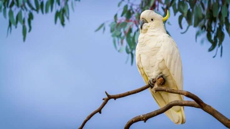 sulphur crested cockatoo hd free download