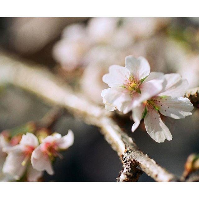 【seion6d】さんのInstagramをピンしています。 《・ フィルムにて ・ 熱田神宮の四季桜をパチリー(^^) ・ 1月4日 ・ ・ #名古屋 #熱田 #熱田神宮 #サクラ #四季桜 #マクロ #nagoya #atsuta #shrine #japan #cherryblossoms #flower #macro #フィルムカメラ #フィルム写真 #canon #canonf1 #キヤノンf1  #タムキュー #52BB  #35mm #ネガ #フィルム #100 #業務用 #すずきかめら #oldlens #film #filmcamera #filmphotography》