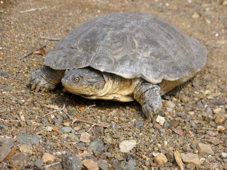 A turtle in the middle of the Karoo - yes it is true, found this lovely one