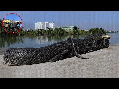 The Biggest Snake In The World a 75 foot anaconda. 3982118 Views - YouTube