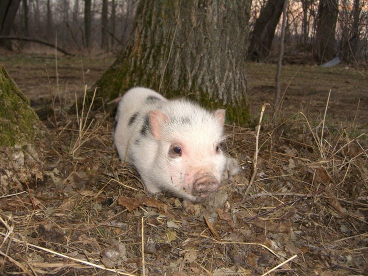 Pot Belly Pig Guide - tons of information