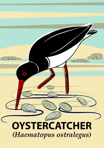 Despite their name Oystercatchers, with their striking plumage, rarely eat oysters. Their diet largely consists of worms, mussels and cockles.