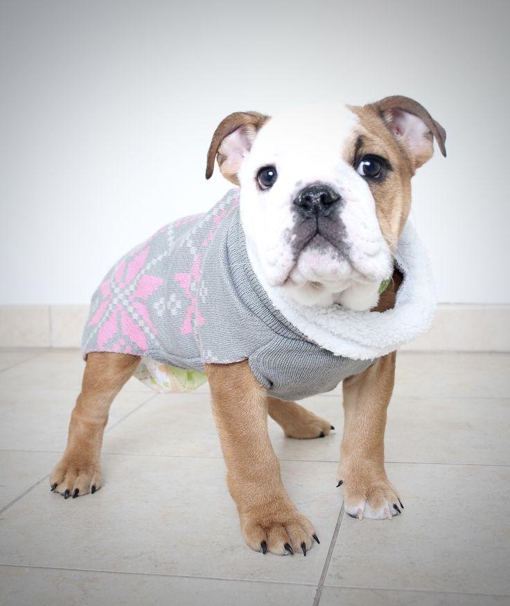 Bulldog dog for Adoption in Eden Prairie, MN. ADN-491603 on PuppyFinder.com Gender: Female. Age: Baby