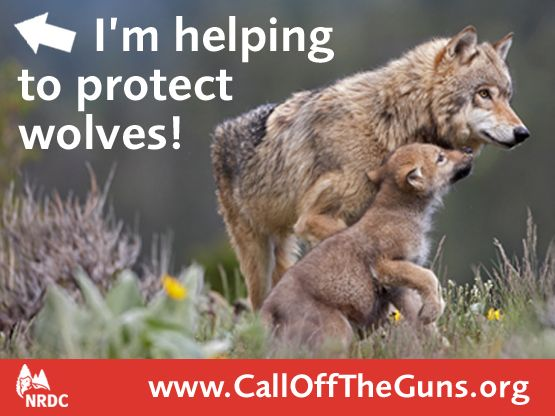 Send you message to save wolves!