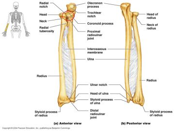 Best 25+ Radius and ulna ideas on Pinterest | Ulna bone, Radius ...