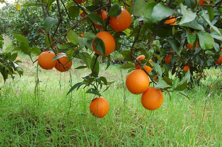 Salustiana? Navelina? Washington-navel? Cadenera?Cuál es tu naranja favorita en Córdoba?