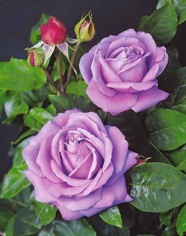 #Rosier buisson violet #willemsefrance