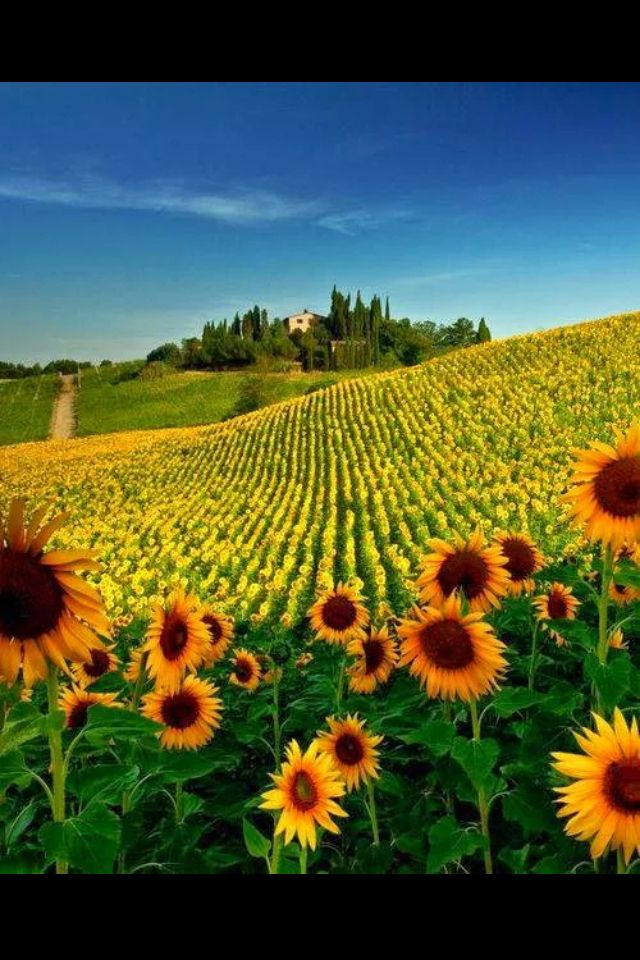 Sunflower field in Tuscany, Italy