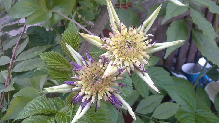 Clematis Vienetta - flowers are just opening. Photo: Dagmara Walkowicz