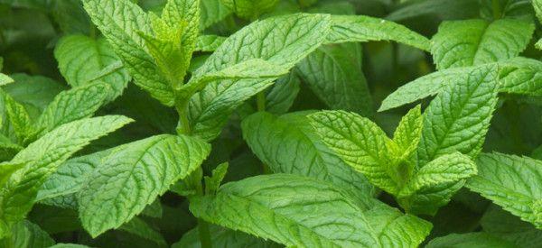 Ιπποκράτης και ομοιοπαθητική: 7 θεραπευτικά βότανα που χρησιμοποιούνται μέχρι…