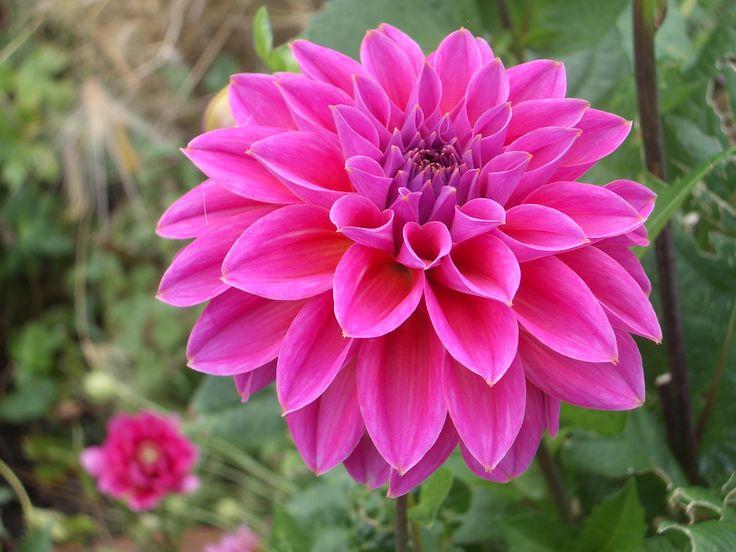 Best 25+ Dahlia flower pictures ideas on Pinterest | Dahlia flower ...