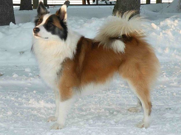 What health problems are common with Icelandic Sheepdogs? | Icelandic Sheepdog…