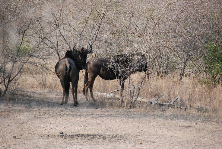 Wildebeest - at Kwa Madwala, South Africa