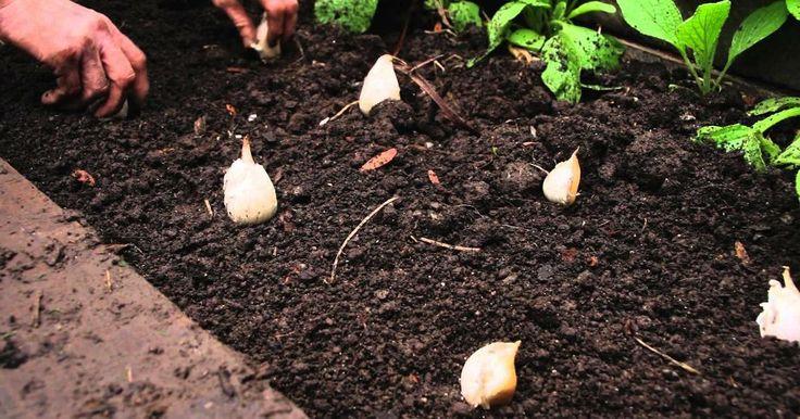 Cómo sembrar ajos en el huerto urbano o en macetas