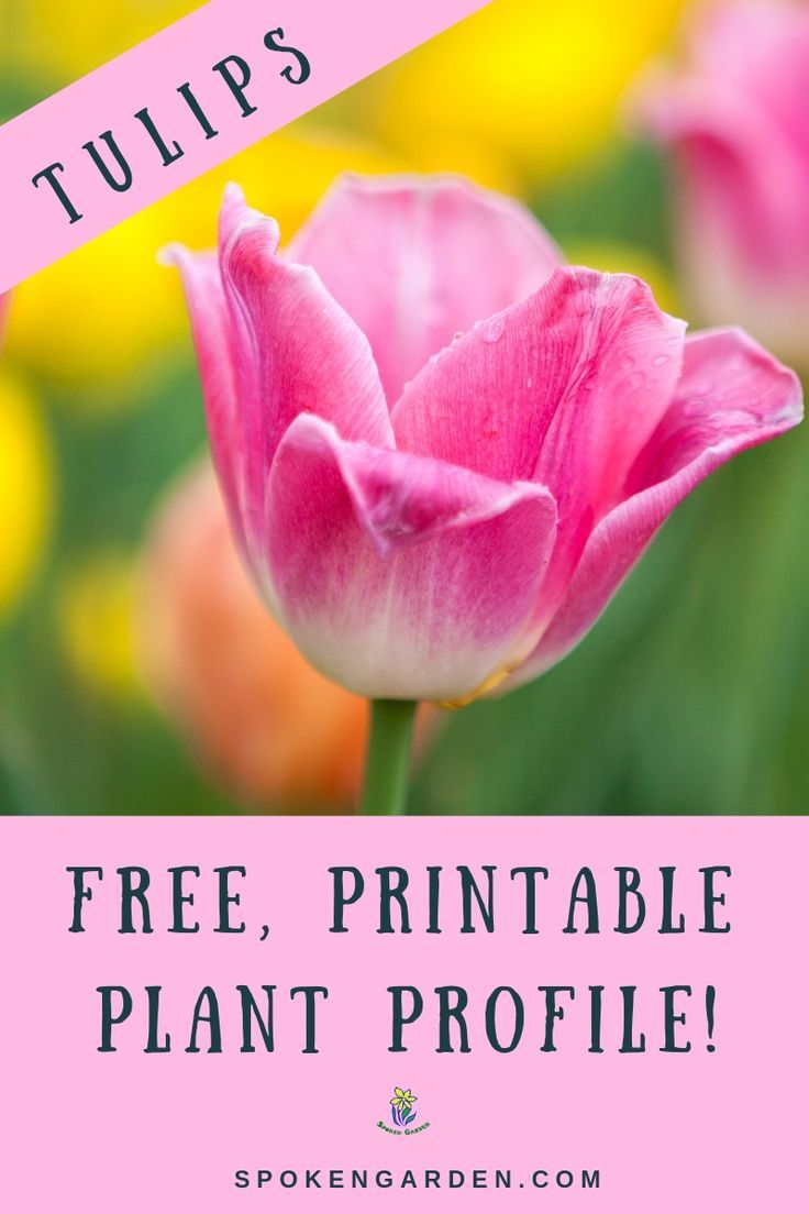 Learn Tulip Flower Care In This Free Printable Plant Profile You