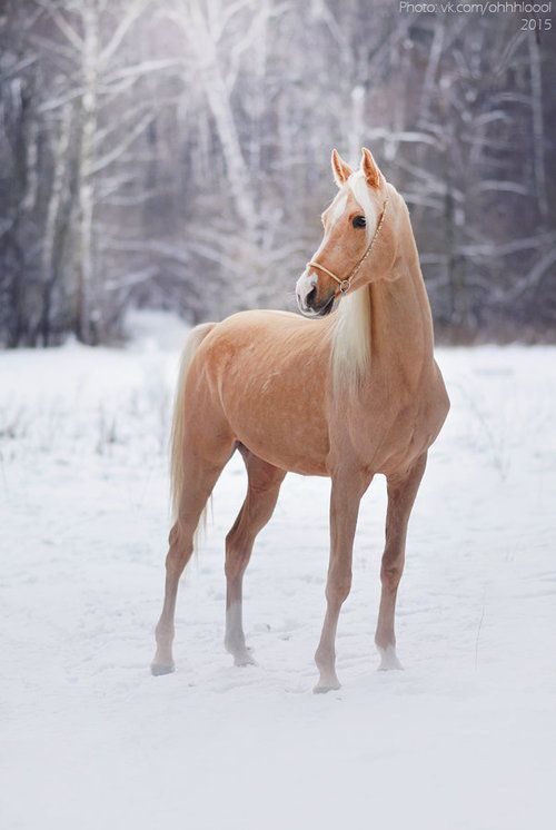 Beautiful Golden colored Palomino horse in the snow. Pretty as can be!