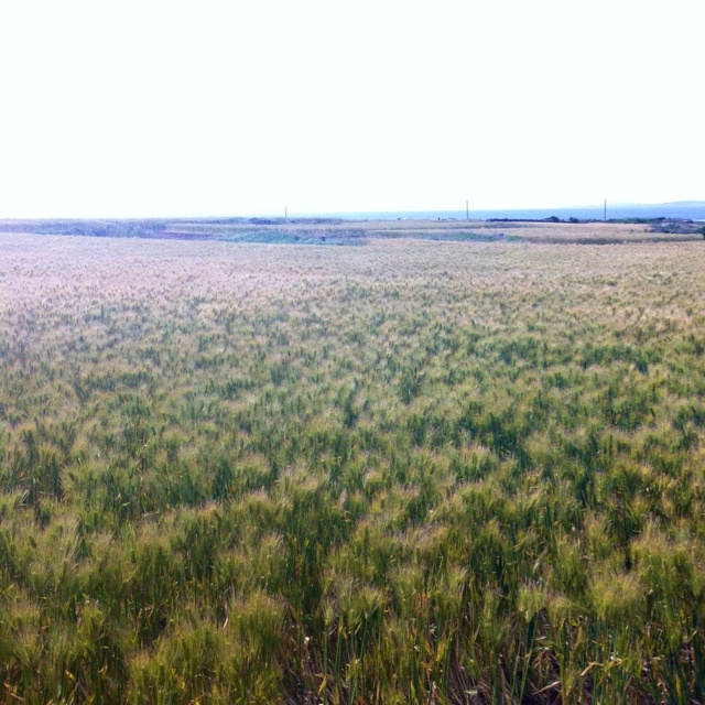 a barley field @ Gapado, Jeju Island, Korea    청보리밭 @ 제주 가파도