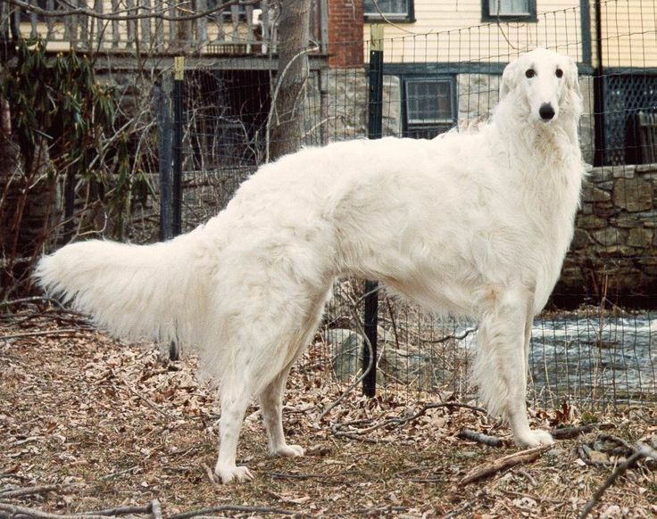 The Borzoi, being a sight hound, is exceptionally fast and was once use to hunt down wolves in Russia.
