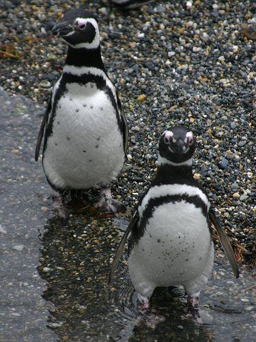 Magellan Penguins, Tierra del Fuego, Argentina