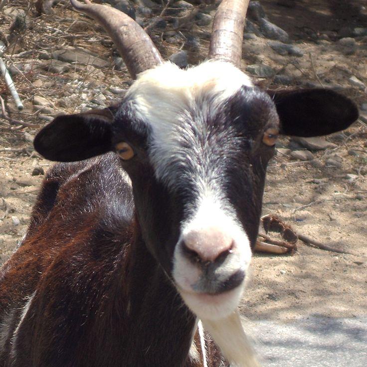 Secret Places Goat Simulator: 73 Best Goat Simulator Images On Pinterest