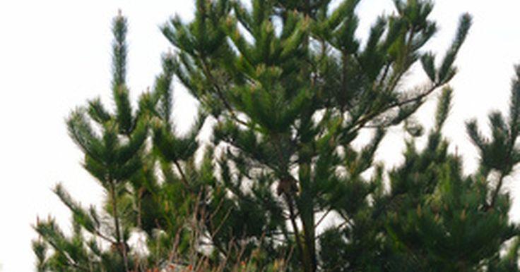 """Como matar aranhas vermelhas. Aranhas vermelhas são aracnídeos com quatro pares de pernas, que produzem teias de seda. Existem muitas espécies de aranhas vermelhas, sendo exemplos a aranha vermelha europeia, a """"Panonychus ulmi"""", que é frequentemente encontrada em macieiras e a aranha vermelha do sul, a """"Oligonychus ilicis"""", que se abriga em muitas plantas."""