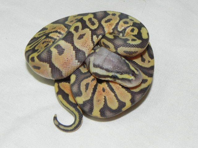 Snakes at Sunset - Pastel Orange Ghost Ball Python for sale (Python regius), $129.99 (http://www.snakesatsunset.com/pastel-orange-ghost-ball-python-for-sale-python-regius/)